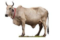 odosobniony krowa biel Zdjęcia Stock