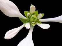 odosobniony kwiatu biel Obrazy Stock