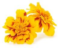 odosobniony kwiatu kolor żółty Zdjęcie Stock
