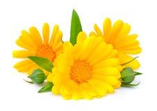 odosobniony kwiatu nagietek Obraz Royalty Free