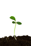 odosobniony liść rośliny flancy biel Zdjęcia Stock