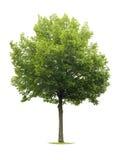 odosobniony lipowy drzewo Zdjęcie Royalty Free