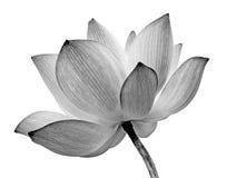 Odosobniony lotos Zdjęcie Royalty Free