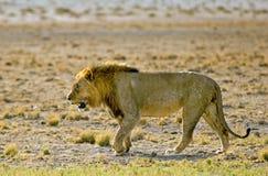 Odosobniony lwa odprowadzenie na równinach Zdjęcie Stock