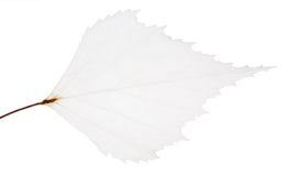 Odosobniony mały liścia kościec Zdjęcie Royalty Free
