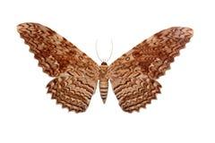 odosobniony motyla biel Fotografia Stock