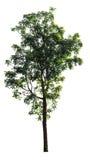 Odosobniony neem drzewo na białym tle Obraz Royalty Free