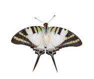 Odosobniony odgórny widok pięć swordtail prętowy motyl Zdjęcia Royalty Free