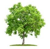 Odosobniony orzecha włoskiego drzewo Obrazy Royalty Free