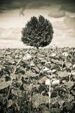 Odosobniony płaski drzewo w słonecznika polu przed ulewą - stonowany wizerunek fotografia royalty free