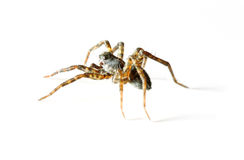 odosobniony pająk fotografia stock