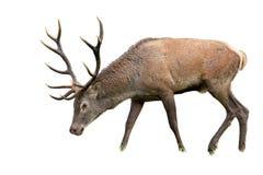 Odosobniony pastwiskowy czerwonych rogaczy jeleń z poroże fotografia royalty free