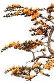 Odosobniony Pomarańczowy kwiat Bękarci tek Obrazy Stock