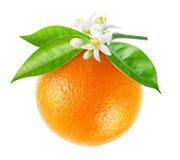 Odosobniony pomarańczowy owocowy obwieszenie na gałąź zdjęcia royalty free