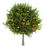 odosobniony pomarańczowego drzewa biel Obraz Stock