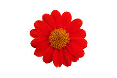Odosobniony Pomarańczowy kwiat Obrazy Stock