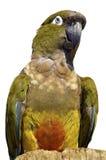 Odosobniony portret Grzebie papugi Obraz Royalty Free