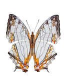 Odosobniony Pospolity mapa motyl Zdjęcia Royalty Free