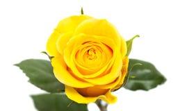 odosobniony różany kolor żółty Obrazy Stock