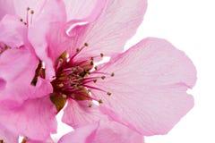 Odosobniony różowy brzoskwini okwitnięcie Obrazy Royalty Free