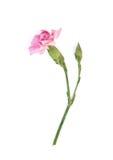Odosobniony różowy goździk Fotografia Royalty Free