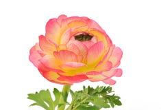 odosobniony różowy ranunculus biel fotografia royalty free