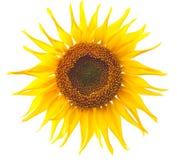 odosobniony słonecznik obraz stock