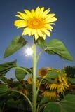 odosobniony słonecznik Zdjęcie Royalty Free
