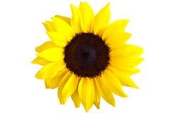 odosobniony słonecznik Obrazy Royalty Free