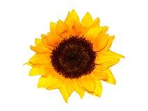 odosobniony słonecznik Zdjęcie Stock