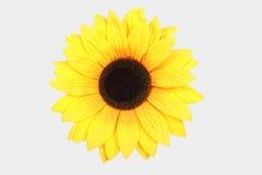 odosobniony słonecznikowy biel Obraz Stock