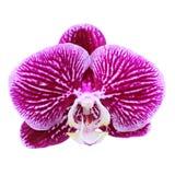 odosobniony storczykowy purpurowy biel Obrazy Royalty Free