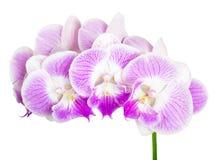 odosobniony storczykowy purpurowy biel Zdjęcia Stock