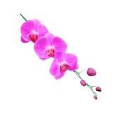 odosobniony storczykowy purpurowy biel Zdjęcie Royalty Free