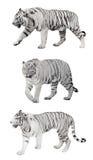 Odosobniony trzy białego pasiastego tygrysa obraz stock