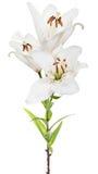 Odosobniony trzy kwiatów białej lelui kwiat Zdjęcie Stock