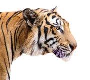 odosobniony tygrys Obrazy Stock