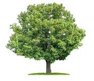 Odosobniony wapna drzewo na białym tle Zdjęcia Royalty Free