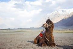 Odosobniony wielbłąd w Nubra dolinie, Leh Ladakh Fotografia Royalty Free