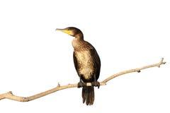 Odosobniony wielki kormoran zdjęcia stock