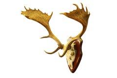 Odosobniony wielki ugoru rogacza jelenia trofeum fotografia stock