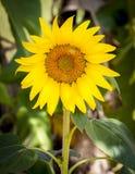 Odosobniony zbliżenie słonecznik podczas dnia Zdjęcie Royalty Free