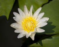 Odosobniony zbliżenie Lotosowy kwiat podczas dnia w stawie Obraz Royalty Free