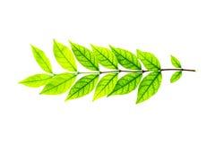 odosobniony zieleń liść Obraz Stock