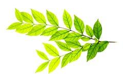 odosobniony zieleń liść Obrazy Stock