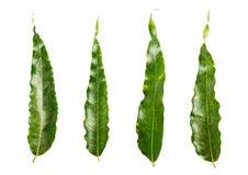 Odosobniony zielony liść Zdjęcie Royalty Free