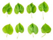 Odosobniony zielony liść Obraz Royalty Free