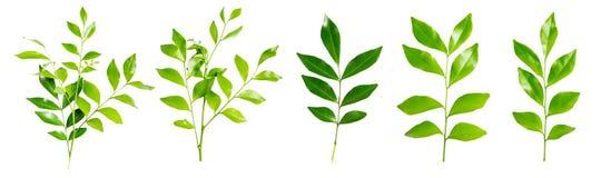 Odosobniony zielony liść Zdjęcia Royalty Free