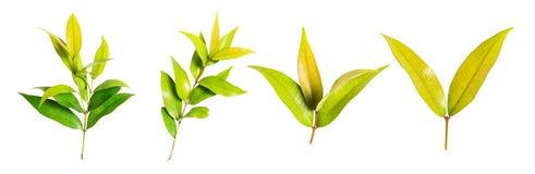 Odosobniony zielony liść Fotografia Stock