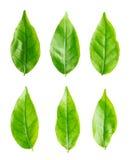 Odosobniony zielony liść Fotografia Royalty Free
